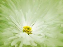 花卉绿色白的美好的背景 一朵白色菊花的花反对浅兰的瓣背景的  特写镜头 库存照片