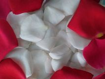 花卉罗斯白色红色瓣 库存图片
