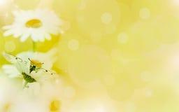 花卉背景、春黄菊在光和蝴蝶 免版税库存图片