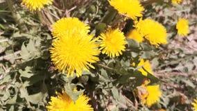 花卉背景用在被弄脏的背景的蒲公英 影视素材