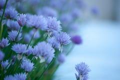 花卉背景用紫罗兰色装饰葱 库存照片
