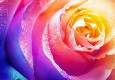 花卉背景的美丽的多色玫瑰花 免版税库存照片