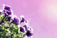 花卉背景装饰紫色和桃红色花喇叭花 库存图片
