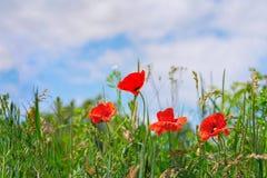 花卉背景鸦片草天空 免版税库存照片