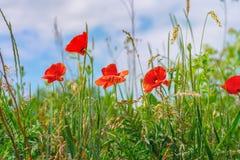 花卉背景鸦片草天空 库存图片