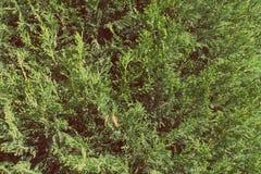 花卉背景,与新鲜的绿色针的侧柏分支 免版税库存图片
