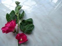 花卉背景-与锦葵属arborea的两朵美丽的明亮的桃红色花的一个分支在灰色背景的 库存照片