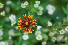 花卉背景-印第安天人菊 免版税图库摄影