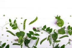 花卉草本背景 与紫色花和叶子,在白色背景的荚的绿豆词根 库存图片