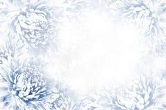 花卉青白的美好的背景 背景构成旋花植物空白花的郁金香 白蓝色花翠菊框架在白色背景的 库存图片