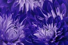 花卉青紫罗兰色美好的背景 花红黄色大丽花 背景构成旋花植物空白花的郁金香 特写镜头 免版税库存图片