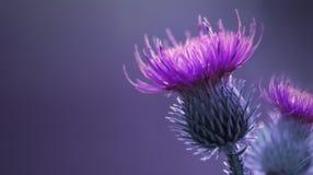 花卉青紫罗兰色背景 桃红色棘手的蓟花 在蓝色背景的一朵桃红色花 特写镜头 库存照片