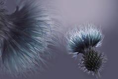 花卉青绿松石紫罗兰色背景 开花构成 在紫罗兰色灰色背景的一朵绿松石花 特写镜头 库存图片