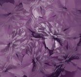 花卉黑暗的紫罗兰色背景 牡丹花花束  牡丹花的紫色瓣 特写镜头 库存照片