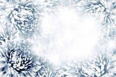 花卉黑暗-蓝色-白色美好的背景 背景构成旋花植物空白花的郁金香 青白的花翠菊框架在白色背景的 免版税库存图片