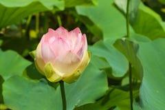 花印度莲花拉特 莲属nucifera是类莲花莲属的两栖动物植物的一个四季不断的草本种类 免版税库存照片