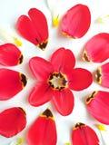 花反弹与郁金香的背景 图库摄影