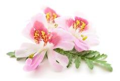 花变粉红色三 库存图片