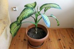 花叶万年青在罐的室内植物boolshimi 免版税图库摄影