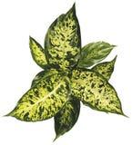 花叶万年青室内植物 免版税库存照片