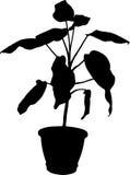 花叶万年青盆的植物 库存图片