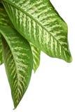 花叶万年青绿色叶子  免版税库存图片