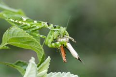 花吃棕色蝗虫的mantisCreobroter gemmatus的图象 免版税库存图片
