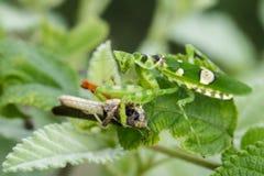 花吃棕色蝗虫的mantisCreobroter gemmatus的图象 库存照片
