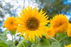 花向日葵由蜂授粉 春天 库存图片