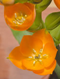 花告诉了从伯利恒的Star 图库摄影