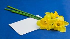 水仙花和一个信封在蓝色背景 库存图片