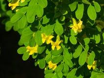 花和叶子在开花的西伯利亚peashrub或Caragana arborescens特写镜头,选择聚焦,浅DOF 免版税库存照片