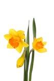 黄水仙花和叶子 库存图片