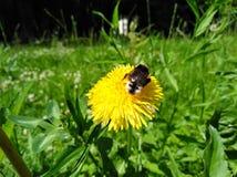 花和土蜂 免版税库存照片
