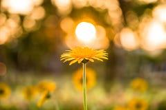 花和太阳 库存照片