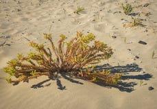 花和植物Simos沙子的靠岸,埃拉福尼索斯岛, Greec 免版税库存图片