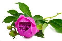 花和牡丹的花蕾在白色背景的。 免版税库存图片