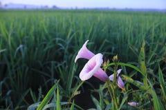 花和米领域在印度尼西亚 免版税库存图片