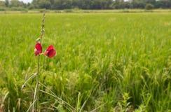 花和米 库存图片