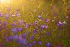 花和草由温暖被日光照射了在夏天草甸,您的设计的摘要自然本底点燃了  免版税图库摄影