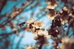 花和蜂在春天 免版税图库摄影