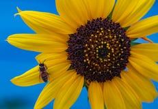 花和蜂在特写镜头 免版税库存照片