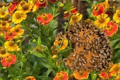 花和蜂 框架用蜂蜜和蜂在花之间 库存照片