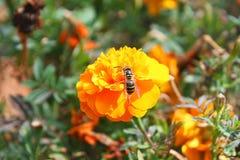 花和蜂 采摘,蜂蜜 免版税库存照片