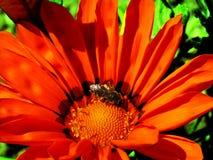 花和蜂 图库摄影
