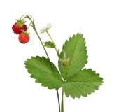 花和野草莓在白色 免版税库存图片