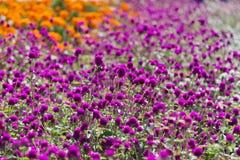 花园橙色粉红色 库存图片