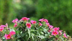 花园粉红色 股票录像