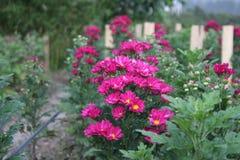 花园紫色 免版税库存照片