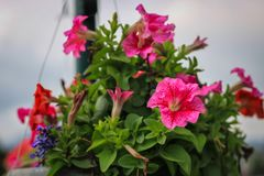 花园红色 库存照片